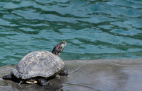 Back view of turtle against water, Texas, USA