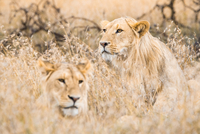 Two lionesses (panthera leo) in grass, Lakipia, Kenya