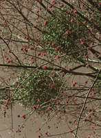 Tree with mistletoes and red blossoms, Germany