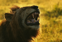 Lions head with visible fangs
