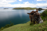 Brown donkey feeding on grass on lakeshore, Isla del Sol, Bolivia