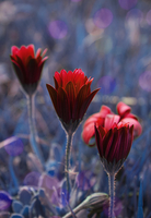 Three red flowers in row, Leiria, Pinhal Litoral, Portugal