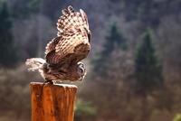 Owl preparing to fly from wooden pole