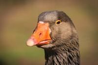 Portrait of brown goose