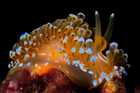 Yellow sea slug underwater, Costa Brava, Spain