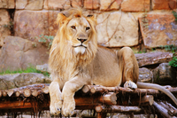 Portrait of lying lion, Fort Worth, Texas, USA