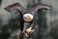 White-tailed eagle (Haliaeetus albicilla) sitting on hand in glove