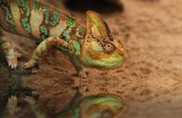 Veiled chameleon (Chamaeleo calyptratus) walking against blurry background