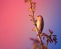 Sunrise over little brown bird perching on plant stem