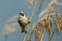 European penduline tit (Remiz pendulinus) bird perching on grass, Kassel, Hesse, Germany