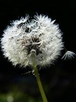 Close up of white dandelion