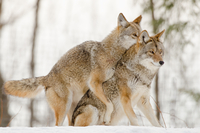 Coyote mating in Parc Omega, Quebec, Canada
