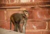 Portrait of macaque monkey, Delhi, India