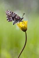 Close-up of mariposa butterfly on yellow flower