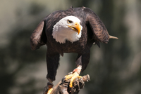 Bald Eagle (Haliaeetus) perching on branch