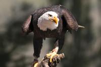 Bald Eagle (Haliaeetus) perching on branch
