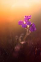 Flower close up at sunset