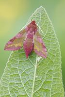 Small elephant hawk-moth perching on leaf