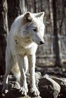 Arctic wolf (Canis lupus arctos) in forest