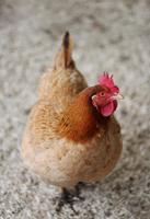 Portrait of chicken (Gallus Gallus Domesticus), Amsterdam, Netherlands