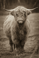 Portrait of highland cow standing in pasture