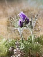Buds of pasque flower (Pulsatilla vulgaris)