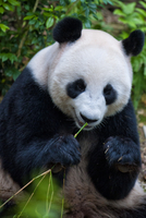 Giant panda (Ailuropoda melanoleuca) eating bamboo in River Safari zoo, Singapore