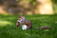 Grey squirrel holding autumn leaf in lawn