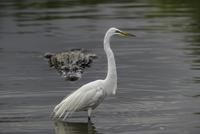 Alligator (Alligatoridae) stalking great egret (Ardea alba) in water