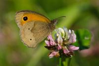 Meadow brown (Maniola jurtina) perching on clover flower