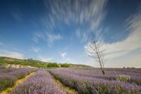 Lavender field on sunny day, WuXi, Jiangsu, China