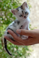 Kitten sitting in hand, Rome, Italy
