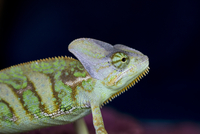 Young chameleon