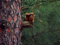 Red squirrel (sciurus vulgaris) on tree