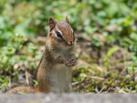 Portrait of chipmunk, Waterloo, Ontario, USA