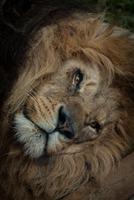 Portrait of resting lion (Panthera leo)