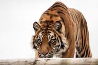 Portrait of stalking tiger