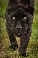 Portrait of big black cat walking in grass