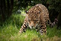 Leopard (Panthera pardus) stalking through undergrowth