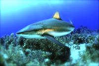 Close up view of shark underwater, Roatan, Honduras