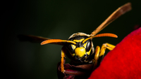 Wasp (Hymenoptera) in close up