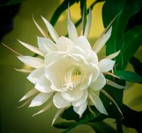 Close up view of queen of night cactus (Selenicereus grandiflorus)