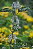 Close-up of weed