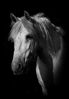 Portrait of white horse