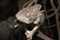 Chameleon sitting on branch, Warsaw, Poland