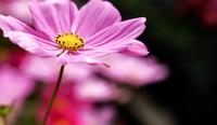 Close-up of cosmos flower at Wetland Park, Hong Kong