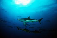 Sharks underwater, Malpelo, Colombia