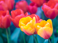 Yellow and red tulips, Washington, USA
