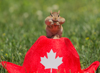 Eastern chipmunk swallowing peanuts while sitting on red hat, Ontario, Canada