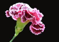 Studio shot of carnation on black background 11098054294| 写真素材・ストックフォト・画像・イラスト素材|アマナイメージズ
